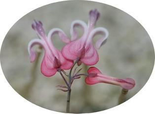 komakusa-blooming2.jpg