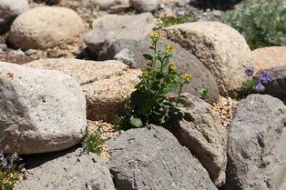 alpine plants 1.jpg