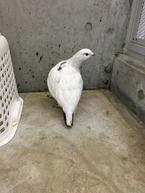ほとんど真っ白に!4羽のうち、このメスの生え換わりが1番早いです。