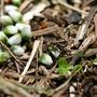 フクジュソウの種子散布