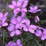 高山植物の生活史研究