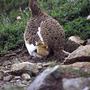 ライチョウの飼育・増殖技術確立を目指した研究