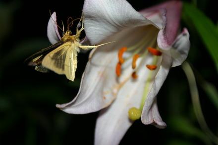 ササユリの生活史および訪花昆虫