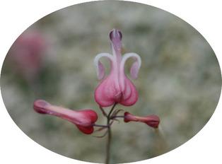 komakusa-blooming1.jpg