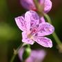 ビッチュウフウロの生活史および開花特性